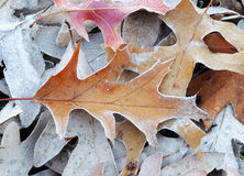 Frozen leaves in winter morning Stock Images
