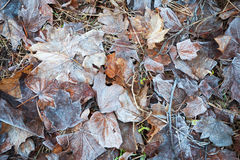 Frozen leaves in winter park Royalty Free Stock Photo