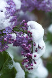 Frozen lilac stock images