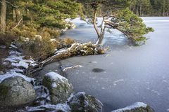 Frozen Loch Garten with rocks and pine in the Cairngorms National Park. Frozen Loch Garten with rocks and pine in the Cairngorms National Park of Scotland royalty free stock image