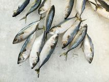 Frozen mackerel fish on ice. Fresh fish at supermarket Royalty Free Stock Photo