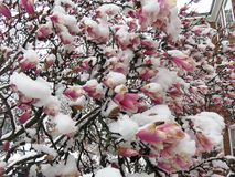 Frozen Magnolia Blossoms in Spring in March Royalty Free Stock Photography