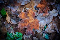 Frozen maple leaf Stock Photo