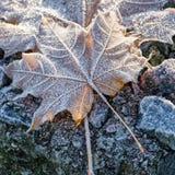 Frozen maple leaf Stock Photos