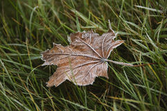 Frozen maple leaf on a grass Royalty Free Stock Image