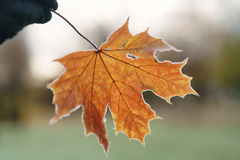 Frozen maple leaf in hand Stock Images