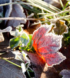 Frozen maple leaf highlighted by sunrise Stock Image