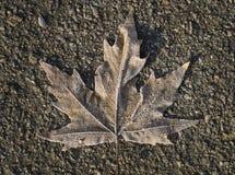 Frozen maple leaf lays on dark asphalt road Stock Photo