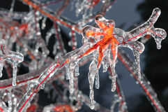 Frozen maple leaf Stock Photography
