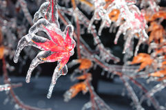 Frozen maple leaf Royalty Free Stock Photography