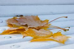 Frozen Maple leafes Stock Image
