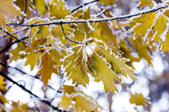 Frozen maple leaves on branch covered with hoarfrost Stock Image