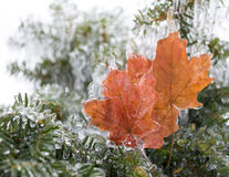 Frozen Maple Leaves Stock Photos