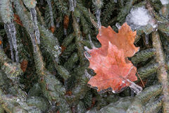 Frozen Maple Leaves Royalty Free Stock Image