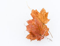 Frozen Maple Leaves Royalty Free Stock Images