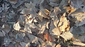 Frozen maple leaves with sun beam on it Stock Photos