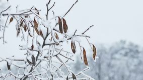 Frozen  maple tree branch winter nature stock video