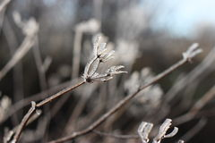 Frozen meadow flower. In winter, detail Stock Photography