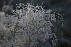 Frozen silver plant Royalty Free Stock Photo
