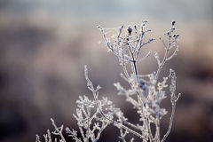 Frozen morning. Frozen plant in the morning Stock Photos