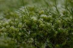 Frozen moss between the grass. A macro photo of frozen moss between the grass Royalty Free Stock Photo