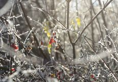 Frozen mountain ash bush Royalty Free Stock Photos