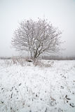 The frozen mountain ash on a snowy field. Royalty Free Stock Image