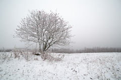 The frozen mountain ash on a snowy field. Royalty Free Stock Photography