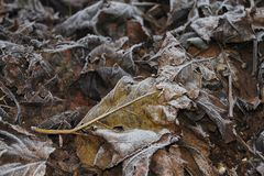 Frozen Mulberry Leaves Stock Photo