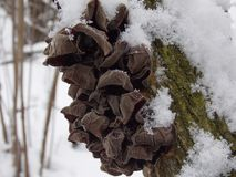 Frozen mushrooms on a tree. Frozen mushrooms in the snow on a tree in the winter forest Stock Image