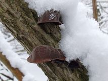 Frozen mushrooms on a tree. Frozen mushrooms in the snow on a tree in the winter forest Royalty Free Stock Photo