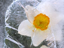 Frozen narcissus flower Stock Images