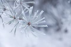 Frozen needles Stock Photos