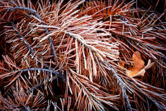 Frozen needles on pine brunch Royalty Free Stock Photos