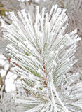 Frozen needles Stock Photography