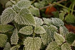 Frozen Nettles Royalty Free Stock Photography