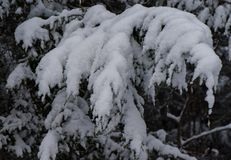 New England Winter pine forest after snow storm Royalty Free Stock Photography