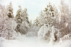 Frozen north woods in snow Stock Image