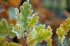 Frozen oak Autumn leaves on branch Royalty Free Stock Photos