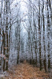 Frozen oak forest from Hungary Stock Image