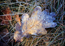 Frozen oak leaf on grass Stock Photography