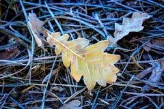 Frozen oak leaf on grass Royalty Free Stock Image