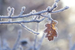 Frozen oak leaf. Hanging on a branch, on a late autumn afternoon in Bremen, Germany Stock Images