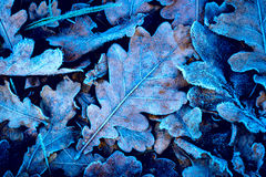 Frozen oak leafage. Frozen oak leafs - nice abstract natural background Royalty Free Stock Photos