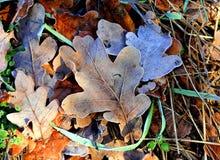 Frozen oak leafs Royalty Free Stock Photo
