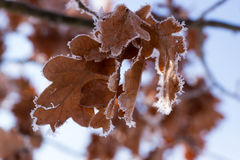 Free Frozen Oak Leaves At Winter Forest Stock Photography - 82079822