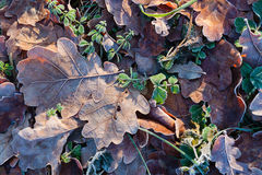 Frozen oak leaves. Covered with frost, abstract stock photos