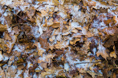 Frozen  oak leaves covered with hoarfrost Royalty Free Stock Image