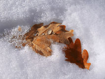 Frozen oak leaves laying in the snow Stock Images
