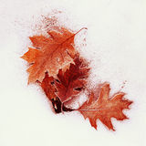 Frozen oak leaves Royalty Free Stock Images
